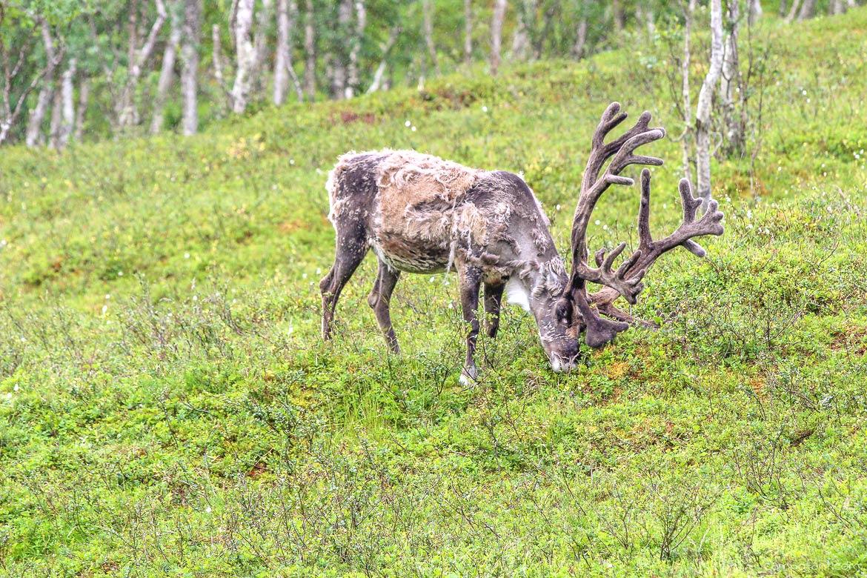 Polar Park Norwegen Rentiere