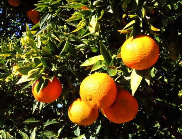 Orangenbaum Spanien