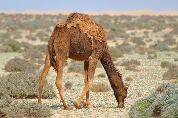 Dromedar, Wüste