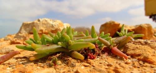 Marokko, Pflanze, Westsahara