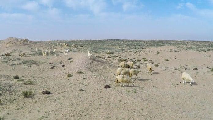Wüste, Schafe