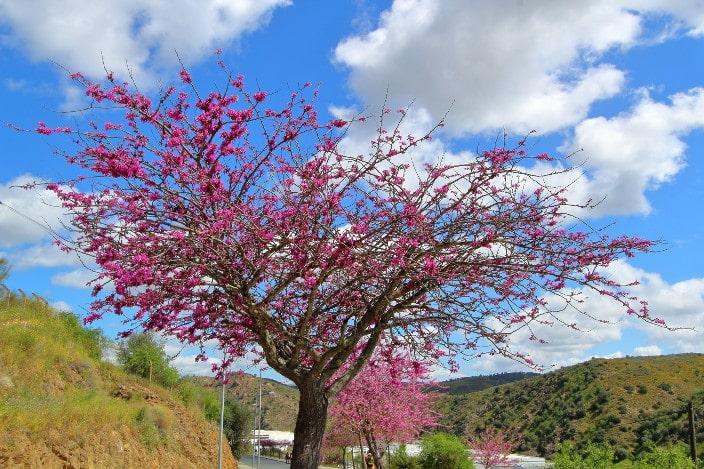Blühender Baum, lila Blüten