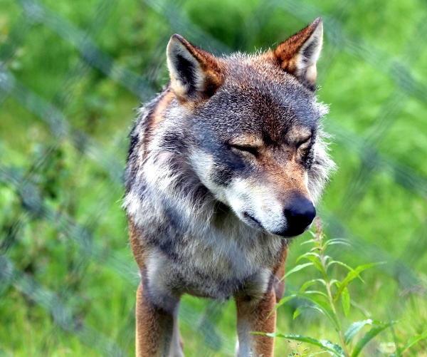Wolf, Polar Park, Norwegen