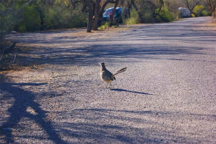 Roadrunner, Vogel, Texas