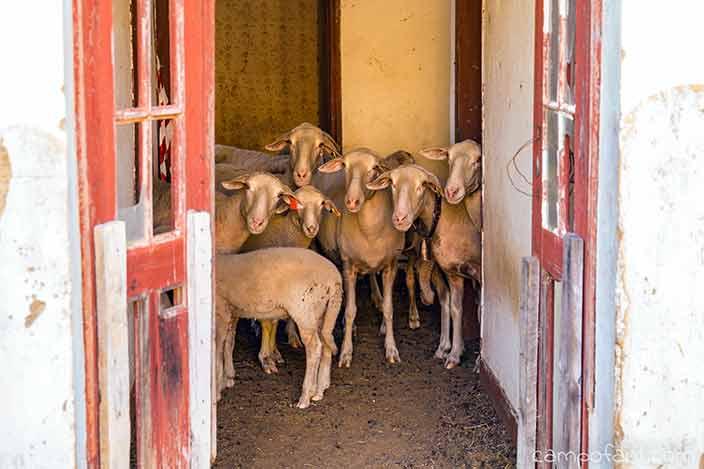 Schafe, haus