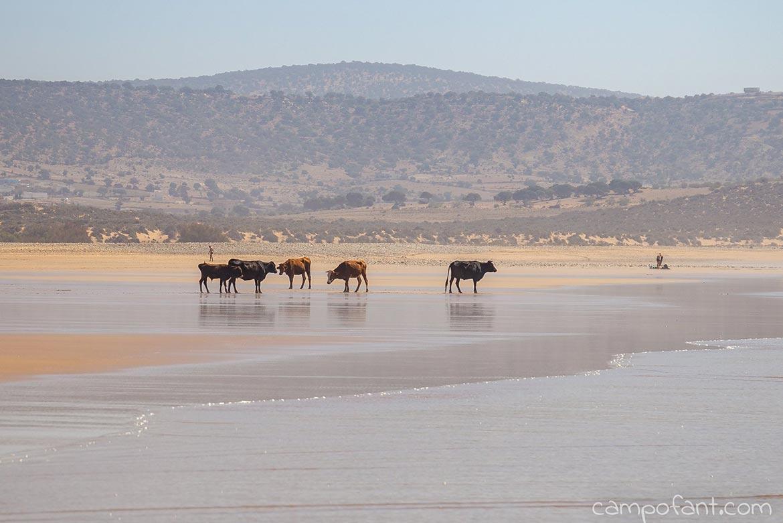 Strand Tafedna Kühe