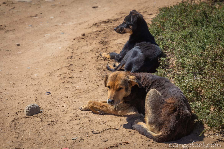 Straßenhunde Marokko